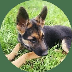 Pies Rejw