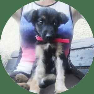 Pies Stokrotka